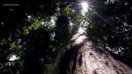 冲天大树实拍高清视频