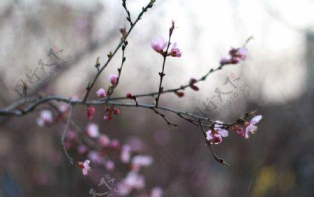 春天的桃花