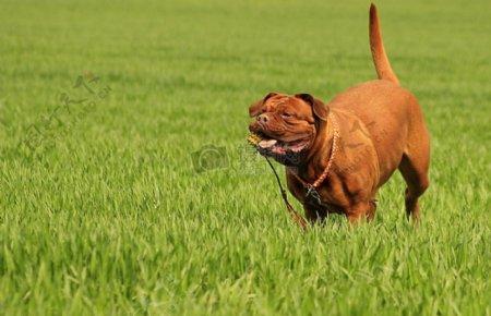 草地上玩得开心的狗