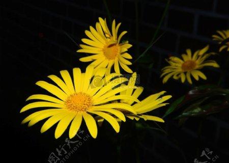 黑色背景下的黄花