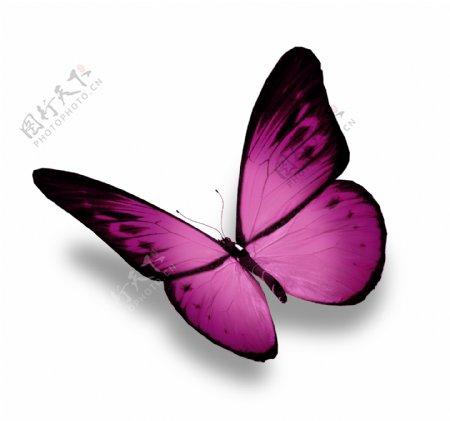美丽紫色蝴蝶