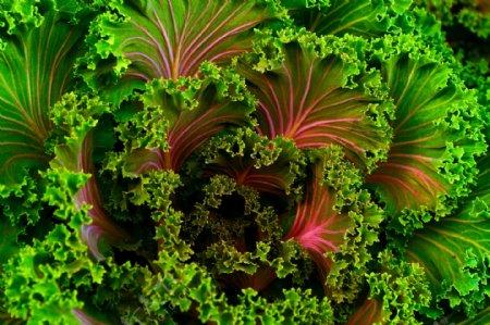红梗叶甜菜图片