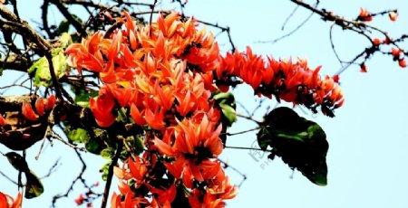 红色的木棉花