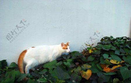 动物猫白色毛皮可爱