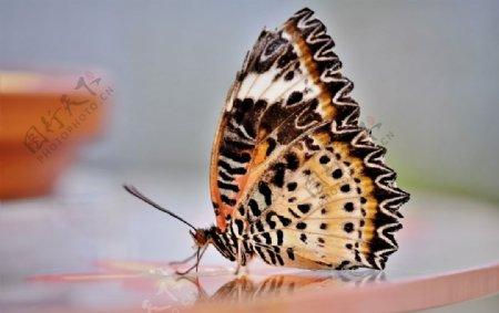 斑点花纹蝴蝶