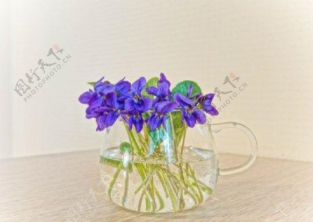清水紫罗兰