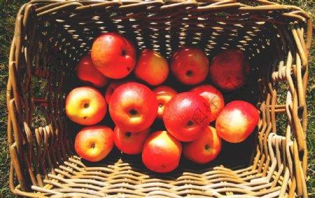 苹果苹果树