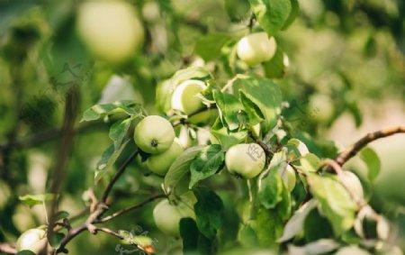 苹果枝头苹果树上苹果