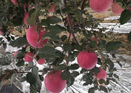 静宁苹果果园苹果树红苹果