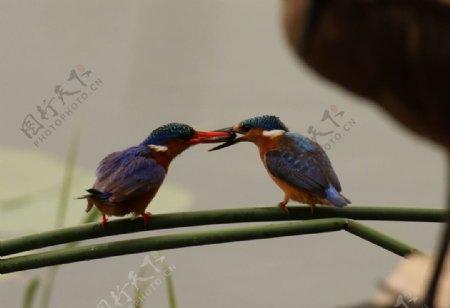 翠鸟野生飞鸟动物鸟类