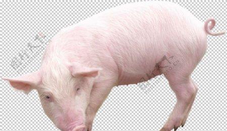 可爱动物小猪