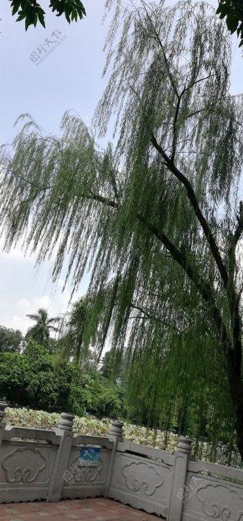 柳树树木图片