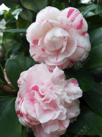 山茶花鲜花图片