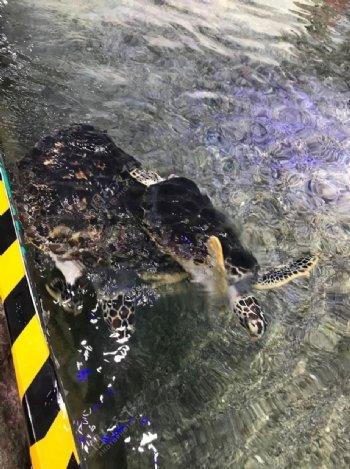 大乌龟图片