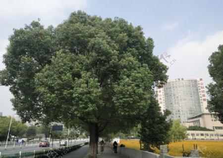 街边大树图片