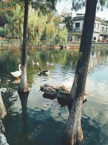 春江水暖鸭先知图片