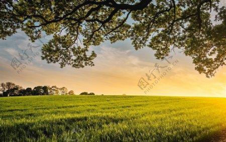 大树下面拍摄一望无尽的绿色麦田图片