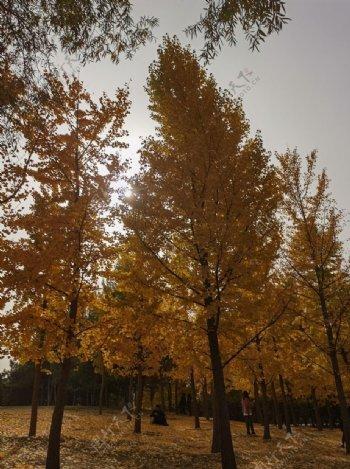 秋天红色枫树林枫树树林图片