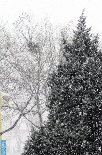 大雪中的松树图片
