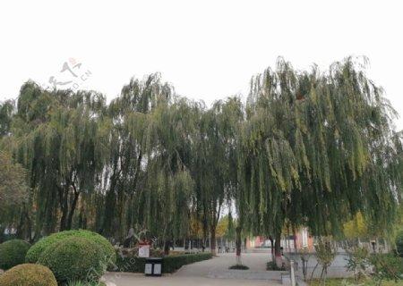 绿色植物垂柳柳树图片