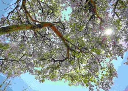 丁香花树图片