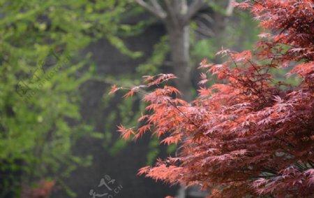 秋天红枫树图片