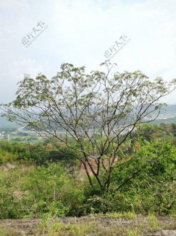 户外山坡上的一棵大树图片