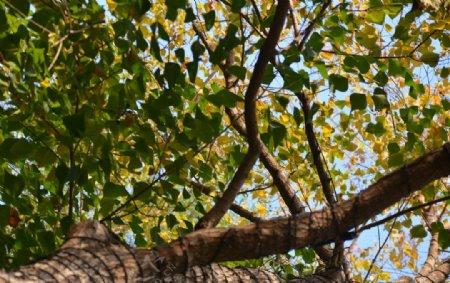 仰视仰拍大树树冠图片