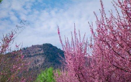 春天蓝天白云户外清新海棠花摄影图片