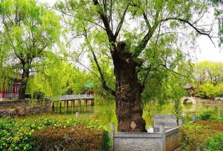 东湖柳树图片