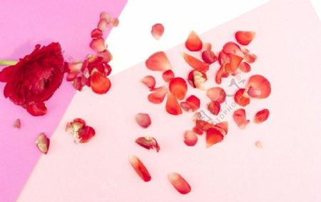 红色玫瑰花花瓣图片