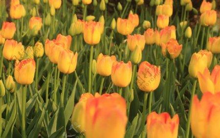 春天花朵郁金香特写图片
