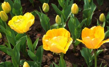 黄色郁金香特写图片