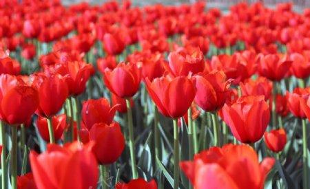 大片红色郁金香拍摄图片