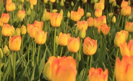 橘黄色大片郁金香拍摄素材图片