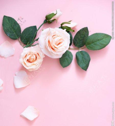 粉色底板粉色玫瑰图片