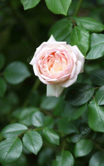 户外粉色玫瑰花特写图片