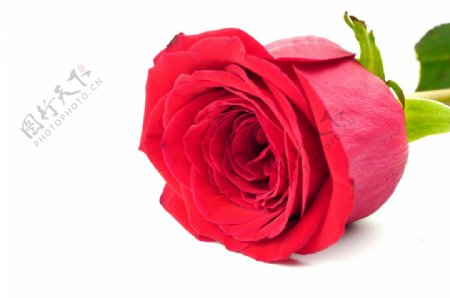 高清玫瑰花特写图片