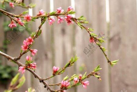 树枝上的桃花图片