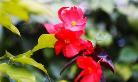 景物拍摄盛放在夏天的海棠图片