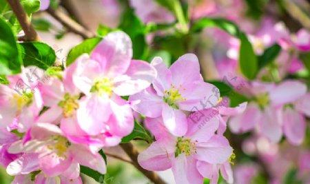 春天海棠花摄影特写图片