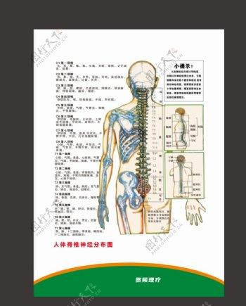 人体脊椎神经图片