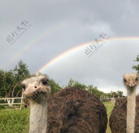 鸵鸟与彩虹图片