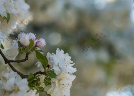 白色花瓣图片