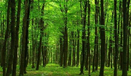 绿色森林大树图片