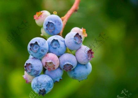 蓝莓特写图片