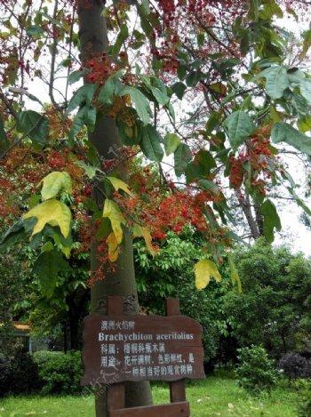 火焰树图片