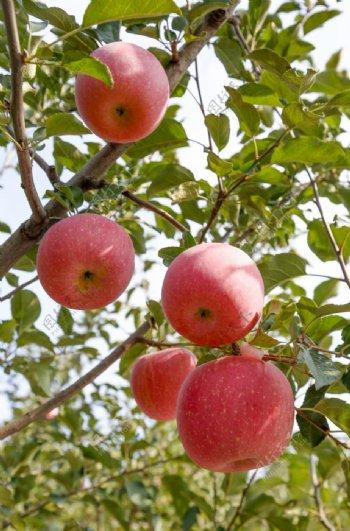 树枝上的苹果拍摄素材图片