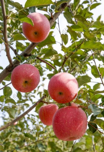 苹果树摄影图片