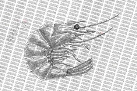 素描虾图片